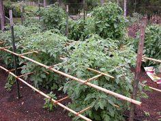 Tomatoes supported by metal T-stakes and lashed bamboo poles