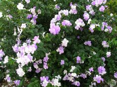 Brunfelsia grandiflora, a.k.a. Yesterday Today and Tomorrow