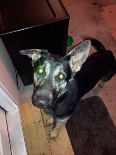 #FOUNDDOG 2-18-14 #EVANSVILLE #IN #GERMANSHEPHERD MIX MALE PUPPY BLACK COLLAR WITH BLUE DUCT TAPE WITH UNREADABLE # OLD PETERSBURG RD 812-459-1591 https://www.facebook.com/photo.php?fbid=10100511670630223&set=o.174905092537413&type=1
