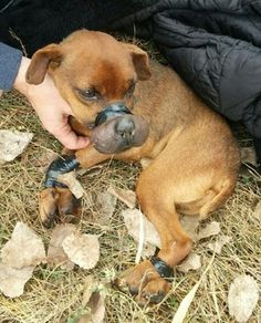 http://www.examiner.com/article/dog-discovered-with-snout-tightly-bound-electrical-tape?cid=db_articles Dog discovered with snout tightly bound in electrical tape