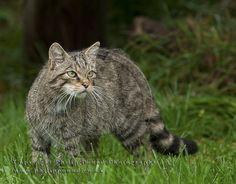 Scottish Wildcat by superhoopsa, via Flickr