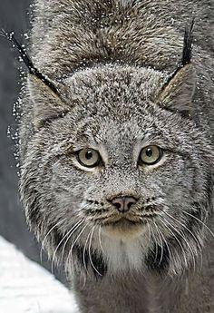 Beautiful Lynx...