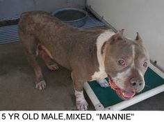 Mannie has had a hard life, but is a real peach anyhow. He needs a home of his own. He is a good boy who would love to take walks with you. He needs to get out of the shelter and be someones special dog. Please don't leave him here. Please help us SAVE him.