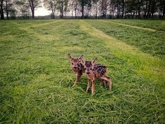 Two tiny, spotted, baby deer standing in an open grass field.