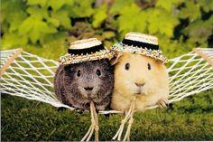 Couple de cochons d'Inde en vacances!