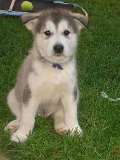 Too cute not to share! Omega 3 Fish Oil, Husky, Fan, Club, Dogs, Nature, Animals, Naturaleza, Animales