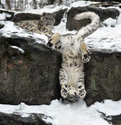 Snow Leopard.23. by ~HecklingHyena on deviantART