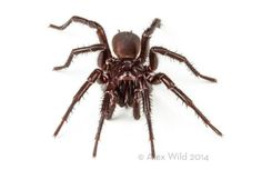 Sydney funnel-web spider (Atrax robustus) - An Incredible Close-Up View Of One Of The World's Most Venomous Spiders Sydney Funnel Web Spider, Insect Orders, Spider Pictures, Deadly Animals, Australian Animals, Amazing Spider, Science And Nature, My Animal, Animales