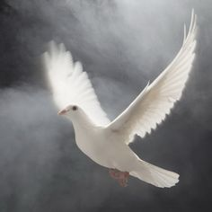 The dove brought the olive-branch of peace.....
