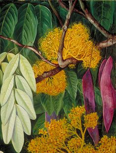Foliage, Flowers and Fruit of a Malayan Tree,  Marianne North