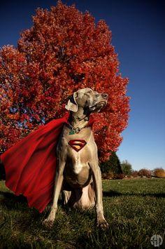 Weimaraner superman