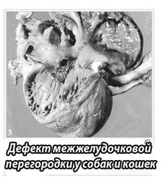 дефект межжелудочковой перегородки у собаки