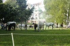 Vienna; Austria; 1010, Lipizzaner im Burggarten