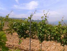 Algunos de los viñedos más altos.