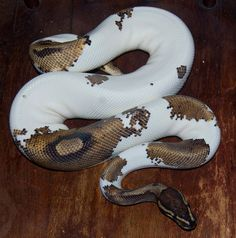 Black Pastel Pied and 'Gold Dust' Pied Pretty Snakes, Cool Snakes, Beautiful Snakes, Animals Beautiful, Ball Python Morphs, Cute Reptiles, Reptiles And Amphibians, Dream Snake, Cute Snake