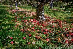 Apple Garden by Mohammad Ali Salim on 500px