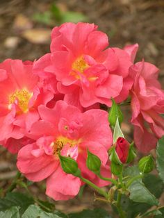 'Cinco De Mayo' | Floribunda Rose. Tom Carruth (United States, 2006) | Flickr - © Cynthia Crawley