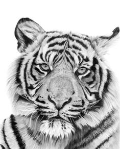 Graphite pencil tiger drawing.