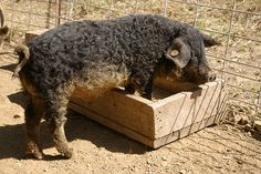 mangalitsa pigs | photo Swallowtail mangalista pig