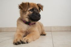 German Shepherd Dog dog for Adoption in Eden Prairie, MN. ADN-644265 on PuppyFinder.com Gender: Female. Age: Baby
