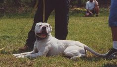 Toro Blanco - American Bulldog in athletic condition.