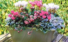 Sugar sweet winter pot Cyclamen Miracle Series Senecio cineraria Silver Dust Gaultheria mucronata Pink Pearl Given a sheltered spot where the cyclamens wont get too wet t. Winter Planter, Fall Planters, Autumn Planter Ideas, Winter Potted Plants, Winter Container Gardening, Container Plants, Winter Flowers, Winter Colors, Winter Hanging Baskets