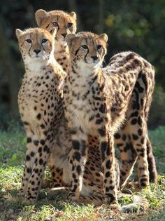Cheetah Mom and Her Two Almost Full Grown Cubs.