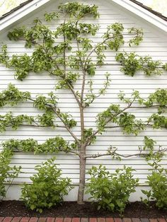Wow. Espaliering, a very popular method for growing fruit trees for maximized production in limited spaces. How to: http://youtu.be/WnnqGpjA4EA