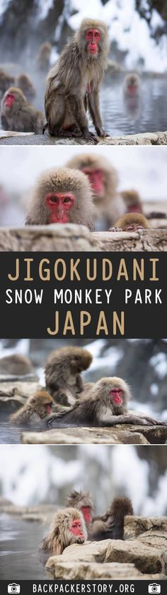 Jigokudani Snow Monkey Park is located in Yamanouchi district of the Japanese Alps. How to get to Jigokudani Snow Monkey Park. Monkey Park Japan, Snow Monkey Park, Travel Guides, Travel Tips, Travel Destinations, Travel And Tourism, Us Travel, Horse Carriage, Travel Plan