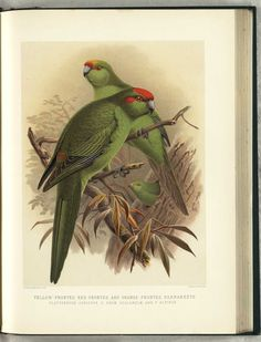 YELLOW-FRONTED RED-FRONTED AND ORANGE-FRONTED PARRAKEETS PLATYCERCUS AURICEPS P. NOVÆ ZEALANDIÆ AND P. ALPINUS