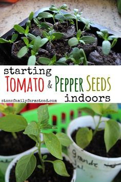 Growing Tomatoes Tips Starting Tomato and Pepper Seeds Indoors - Stone Family Farmstead - Starting tomato and pepper seeds indoors is so easy, especially because they need similar conditions for growth. Start in winter for spring planting! Growing Tomatoes Indoors, Growing Tomatoes From Seed, Growing Tomatoes In Containers, Growing Vegetables, Grow Tomatoes, Growing Green Peppers, Growing Greens, Growing Plants, Tomato Seedlings