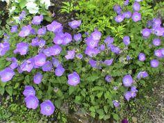 Karpaattienkello - Campanula carpatica Plants, Plant, Planets