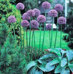 definitely want to plant these.....Allium 'Gladiator' flower