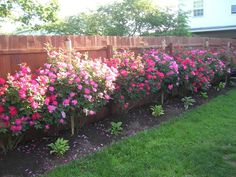 Knockout roses. We have two of these planted and I hope they do this well. This page has pictures of some really pretty roses in someone's yard.