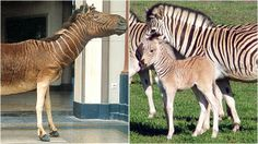 true Quagga left, project animals for Project Quagga on the right - an attempt to back breed
