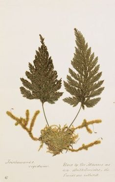 King Tawhiao's fern collection   Collections Online - Museum of New Zealand Te Papa Tongarewa University Of Western Ontario, Ancient Artifacts, Ferns, New Zealand, Healing, Museum, Collections, King, Maori