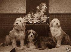 Bearded Collie Lovely Little Dog Print Four Dogs