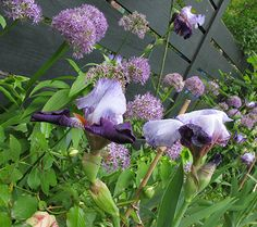 Iris and Alium #alium #flowers #iris