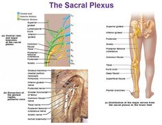 Peripheral Nervous System: Spinal Nerves and Plexuses | antranik.org