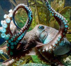 "njnavyguy: "" Inky the octopus at National Aquarium of New Zealand in Napier. Credit National Aquarium of New Zealand Inky the Octopus Escapes From a New Zealand Aquarium By DAN BILEFSKYAPRIL Octopus Legs, Octopus Photos, Octopus Tattoos, Kraken Octopus, Octopus Art, Octopus Decor, Octopus Painting, Octopus Drawing, Exotic Fish"