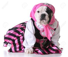 Dog Dressed Up Like A Pirate On White Background - Bulldog Female ...