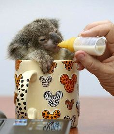 KOALA PICK ME UP Looking for a quick splash of milk, Steve knew he found the right place to secure his morning snack.