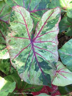 Caladium 'Autumn Beauty' from Bates Sons & Daughters new caladium varieties for the garden. Tropical bulbs are easy to grow!