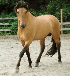 Buckskin Horse Trot Stallion Gelding Mare