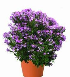 Hämähäkkikukka 'Clio Magenta' Pink Lady, Magenta, Plants, Air Fresh, Garden Planning, Pink Ladies, Plant, Planets