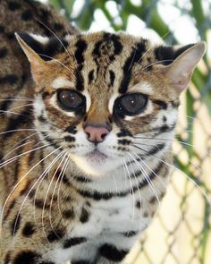 This is actually called an Asian Leopard Cat - that when bred with a domestic cat = a bengal cat :) Beautiful Cat Breeds, Beautiful Cats, Animals Beautiful, Cute Animals, Pretty Cats, Cute Cats, Funny Cats, Pretty Kitty, Small Cat Breeds