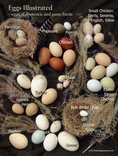 size of quail vs chicken - Google Search