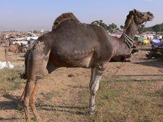 Pushkar Camel Fair, A Dream Come True