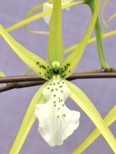 Brassia maculata | Flickr - © Orchids by Hausermann