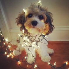 Chauncey the cavachon - christmas dog :)